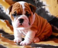 Bulldog Cachorros, parte 1