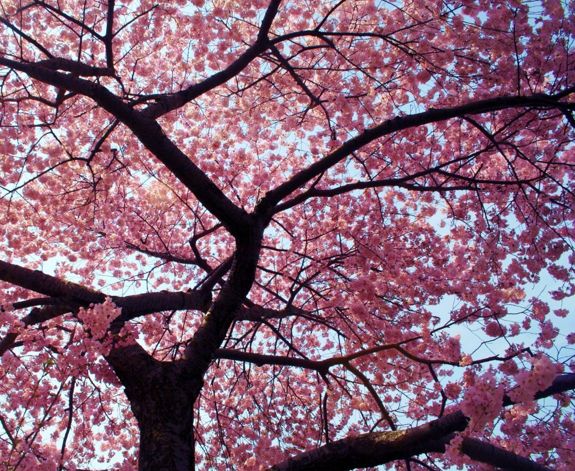 Level 10 day the small joys in life Cherry blossom pictures