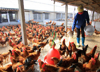 Ngành chăn nuôi gà đối mặt khủng hoảng thừa