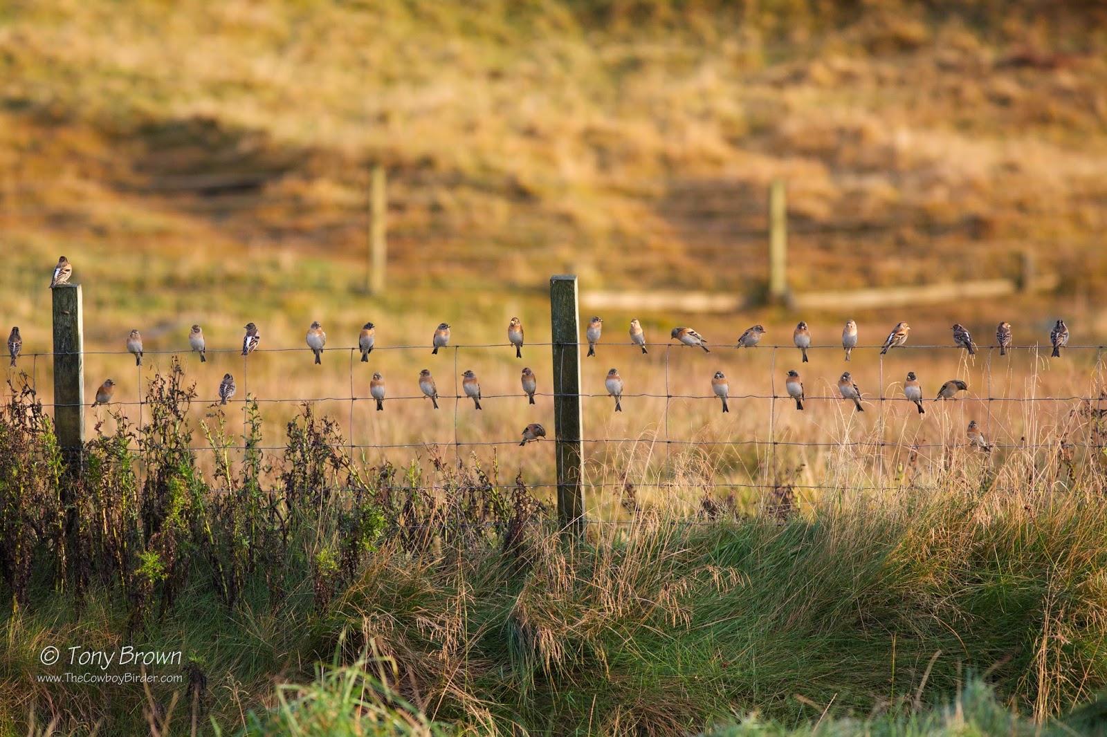 Flock, Shetland