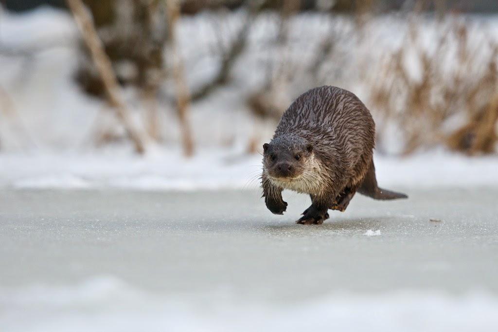 Matt 39 s photos otters on ice for Otter ice fishing
