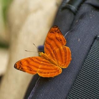 Wavy Maplet ( Chersonesia rahira)