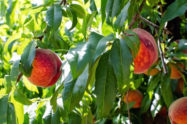 Schnepf Farms Queen Creek peaches