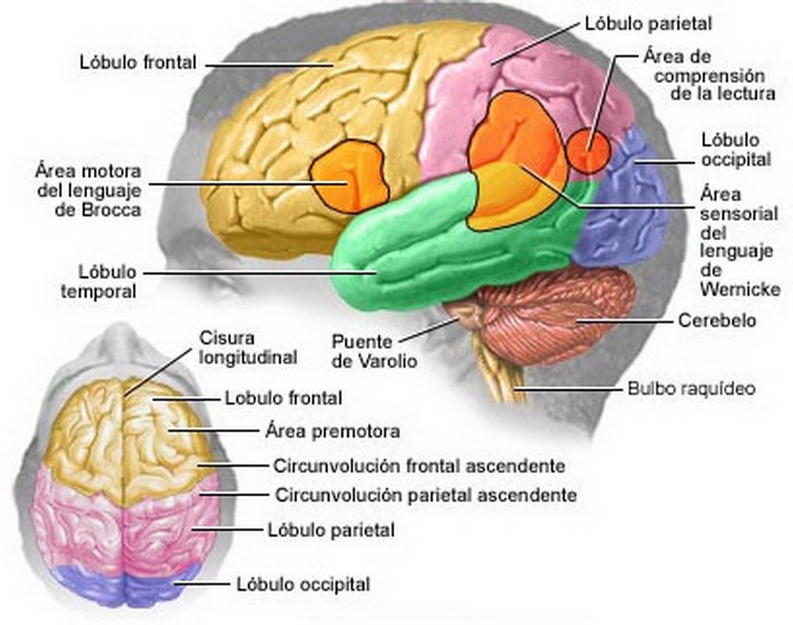 Nutr tu cerebro correctamente ideal para estudiantes for Alimentos que contienen silicio
