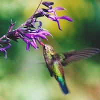 colibri picoteando una flor de hibisco