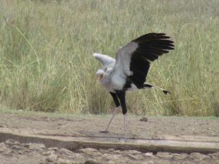 De secretarisvogel bij Crooks corner vangt zijn prooi door die met zijn lange poten dood te trappen.