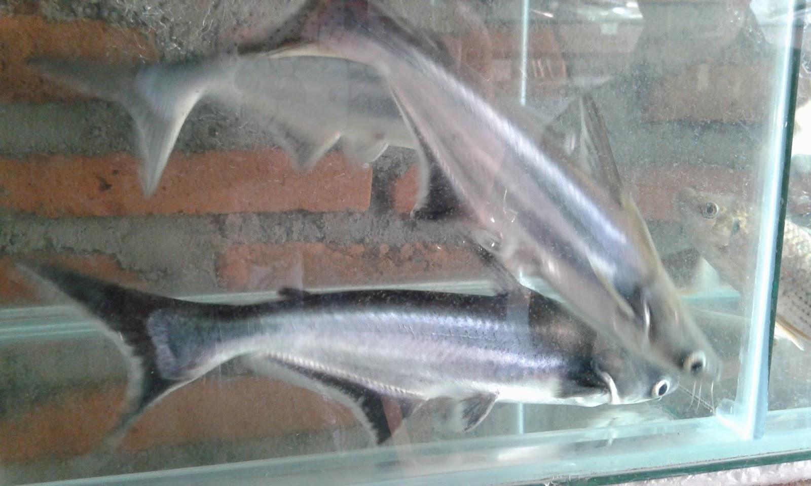 Ikan Hias Berkualitas Jual Ikan Hias Tawar