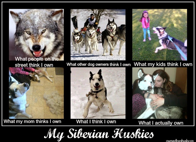 Siberian Husky: What I Think I Have