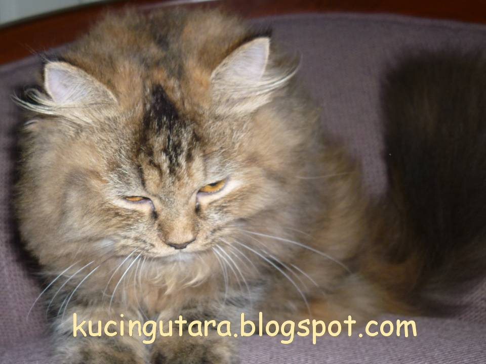 Kucing Utara Keadaan Kucing 24jam Sebelum Bersalin