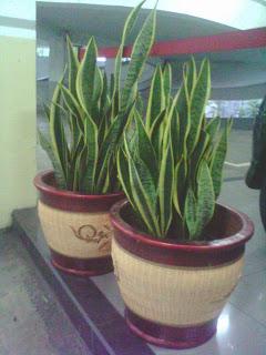 tanaman sansivera di pot gerabah