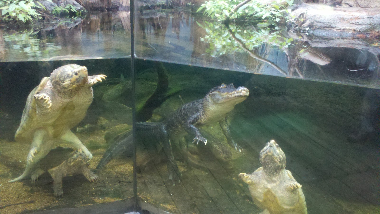 Large Turtle Aquarium : Tennessee Aquarium Blog: Really Big Reptiles Looking Like Best Friends
