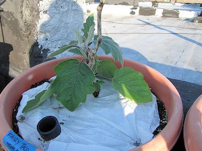 Bucolic Bushwick Rooftop Vegetable Garden Eggplant