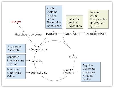 Rangka karbon asam amino masuk dalam siklus krebs