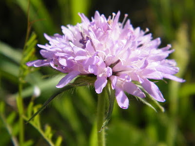 flor-silvestre