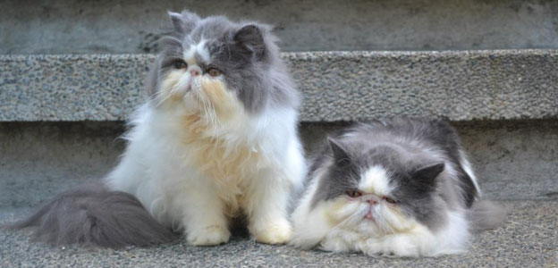 All types of Persian Cats