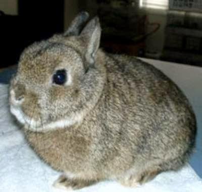 kelinci-netherland-dwarf