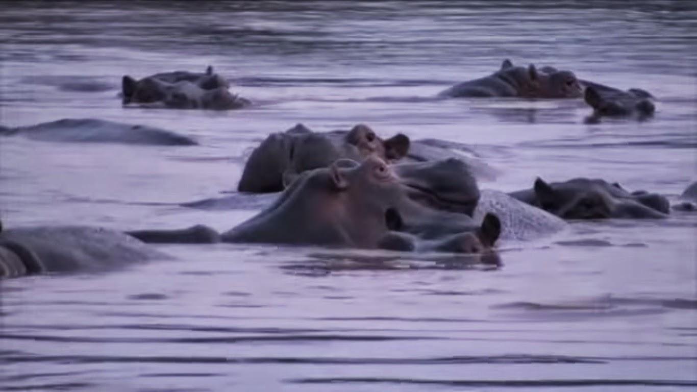 Hipopotamos en Virunga