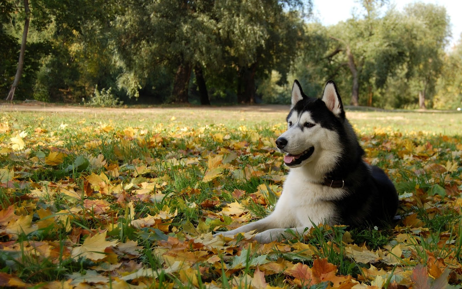 http://1.bp.blogspot.com/-f8-nvAdCaeI/UEkAvJ8dCjI/AAAAAAAAAOs/GoZQ8kr39qg/s1600/wallpaepers-dog-dog-Husky-Malamute-the-leaves.jpg