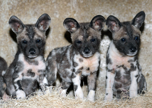 Wild dogs of africa online news icon
