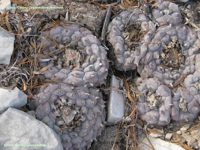 Purple peyote in habitat in Texas