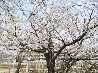 兵庫県・夙川公園 桜のお花見ウォーキング