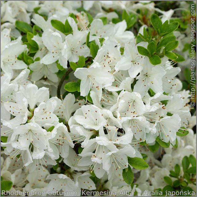 Rhododendron obtusum 'Kermesina Alba' flowers - Azalia japońska  'Kermesina Alba' kwiaty