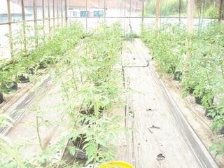 Budidaya Tomat Hidroponik