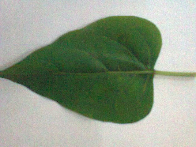 Daun Bunga Pukul Eempat ( Mirabilis jalapa )