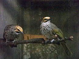 Cara Penangkaran Burung Cucak Rowo