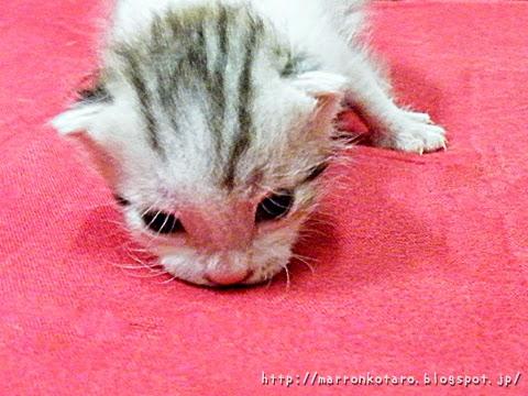 頭を引きずる仔猫