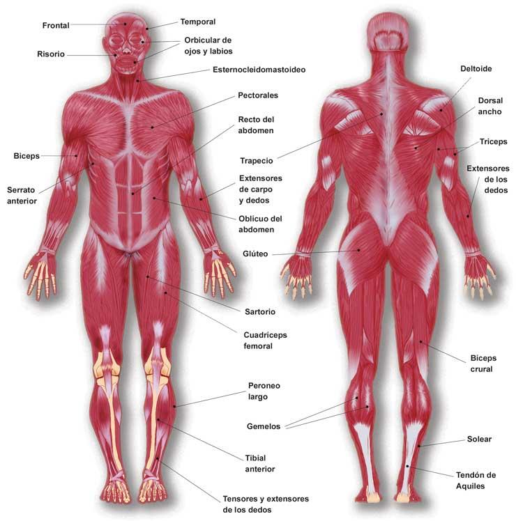 EL SISTEMA MUSCULAR | El cuerpo humano y los cinco sentidos