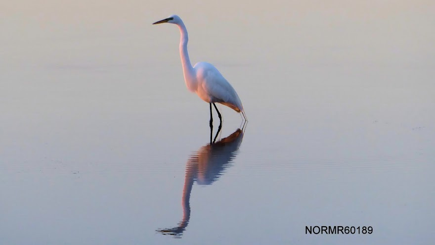 A heron, sunrise on the gulf coast of Florida