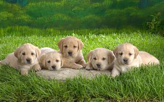 Puppies Animal