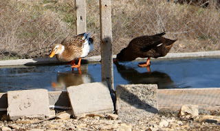 Ducks on the ice, getting a drink
