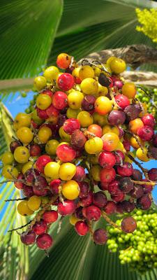 Bunte Beeren an einer Palme auf La Digue