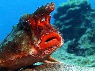 http://1.bp.blogspot.com/-fBHHqlvmDV4/TaGIfv_3RGI/AAAAAAAAA9E/EgQmM62Tcmk/s1600/ikan-kelelawar-hidung-merah.jpg
