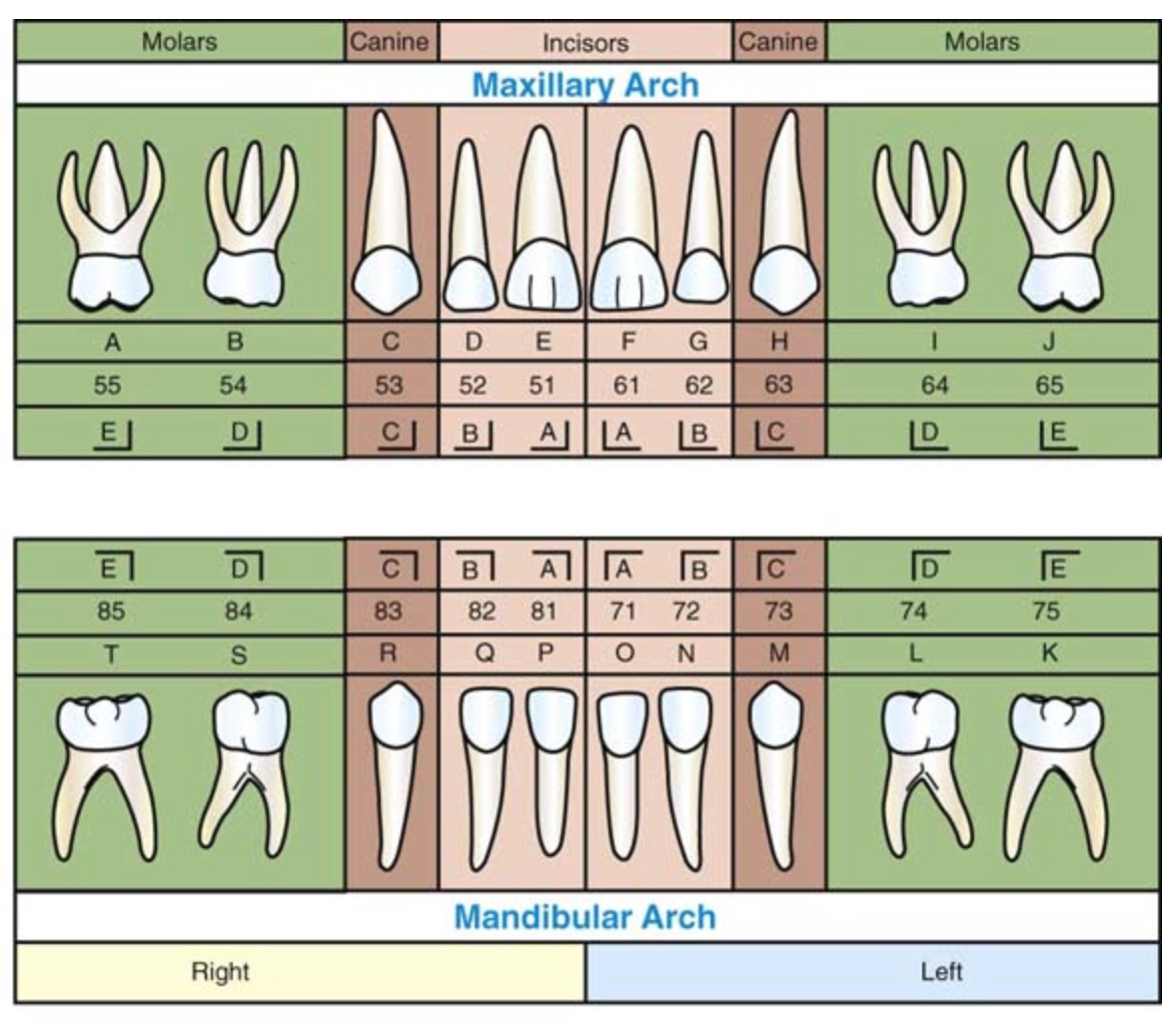 Special Effects - Brave New World: Human Teeth Anatomy