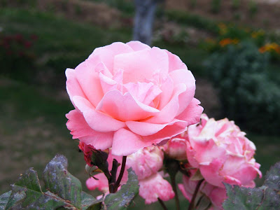 Natural pink roses