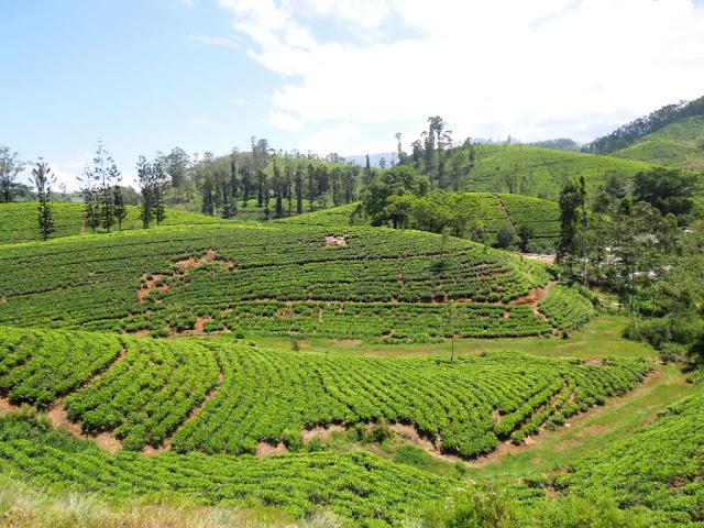 Шри-Ланка, чайные плантации, горы