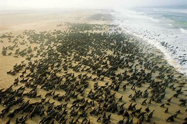 sekumpulan anjing laut di Cape Fria, Namibia
