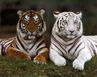 Tigre blanco resultado de una mutación del tigre naranja