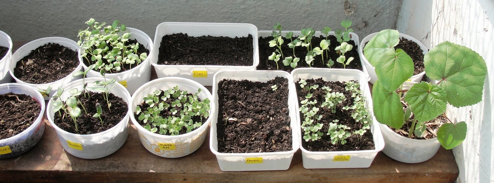 Urban leaves india 5 seeds to sow from your kitchen cupboard for Terrace kitchen garden ideas