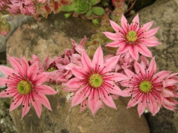 bluhende winterharte steingartenpflanzen – flipnation, Best garten ideen