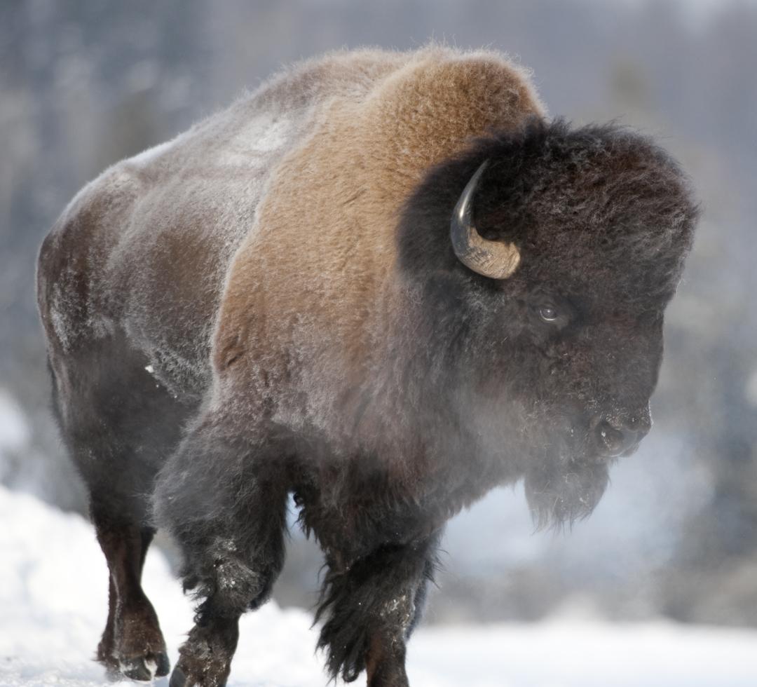 wild bison hd wallpape...