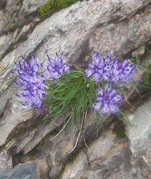 Phyteuma hedraianthifolium (Raponzolo rupestre)