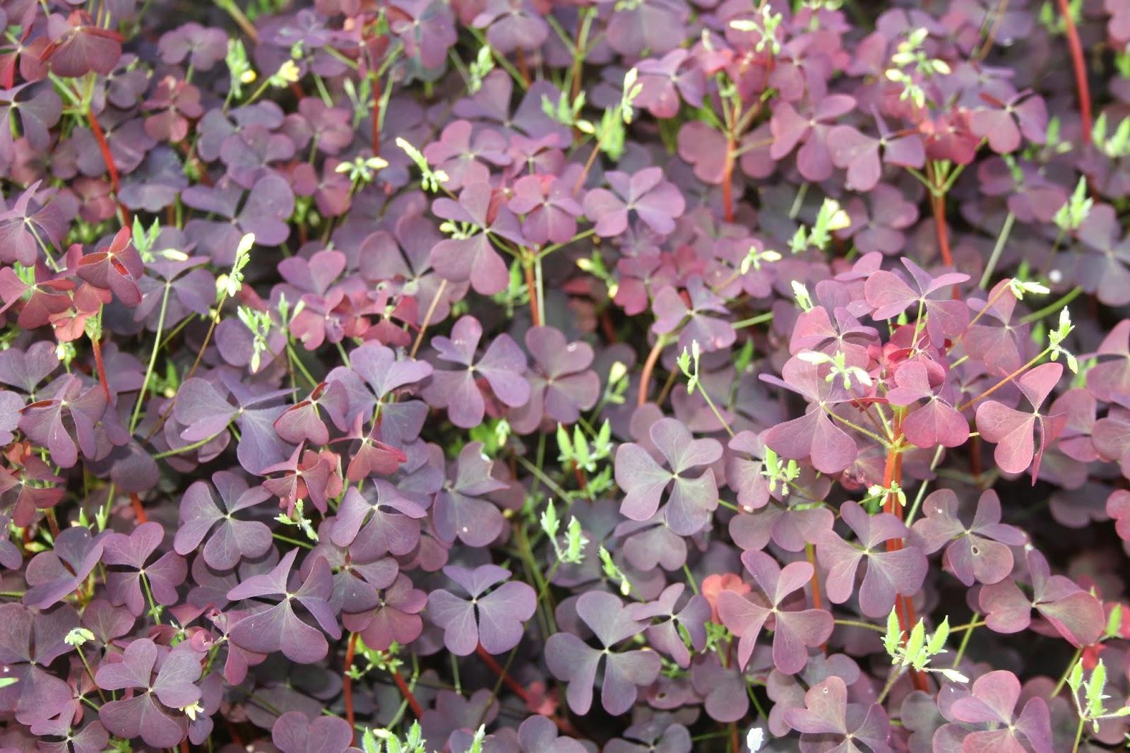 Violetti käenkaali