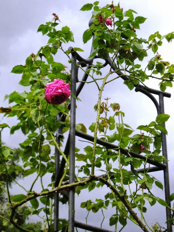 Rose on trellis with grey skies behind