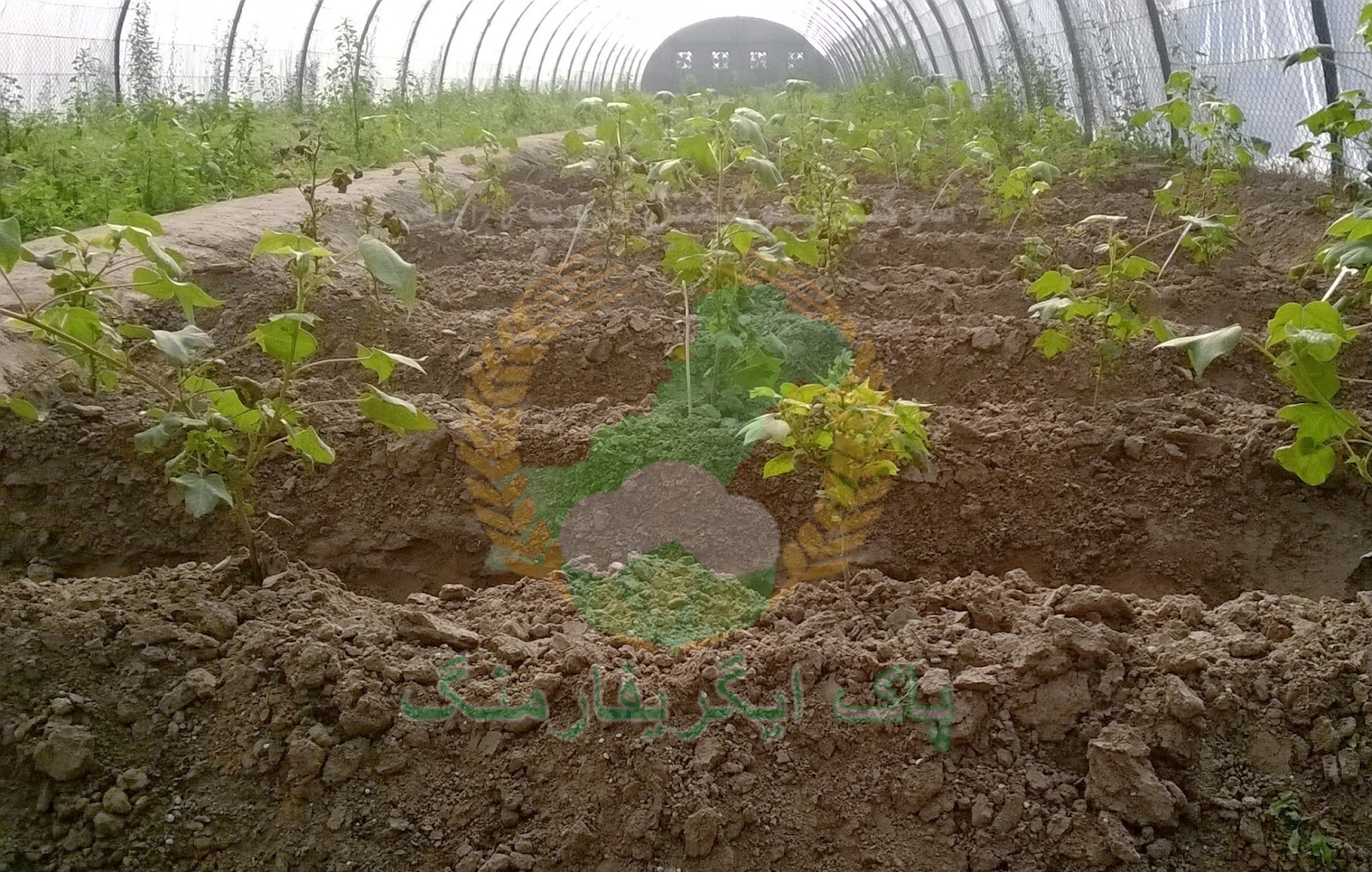 Tunnel farming in Pakistan
