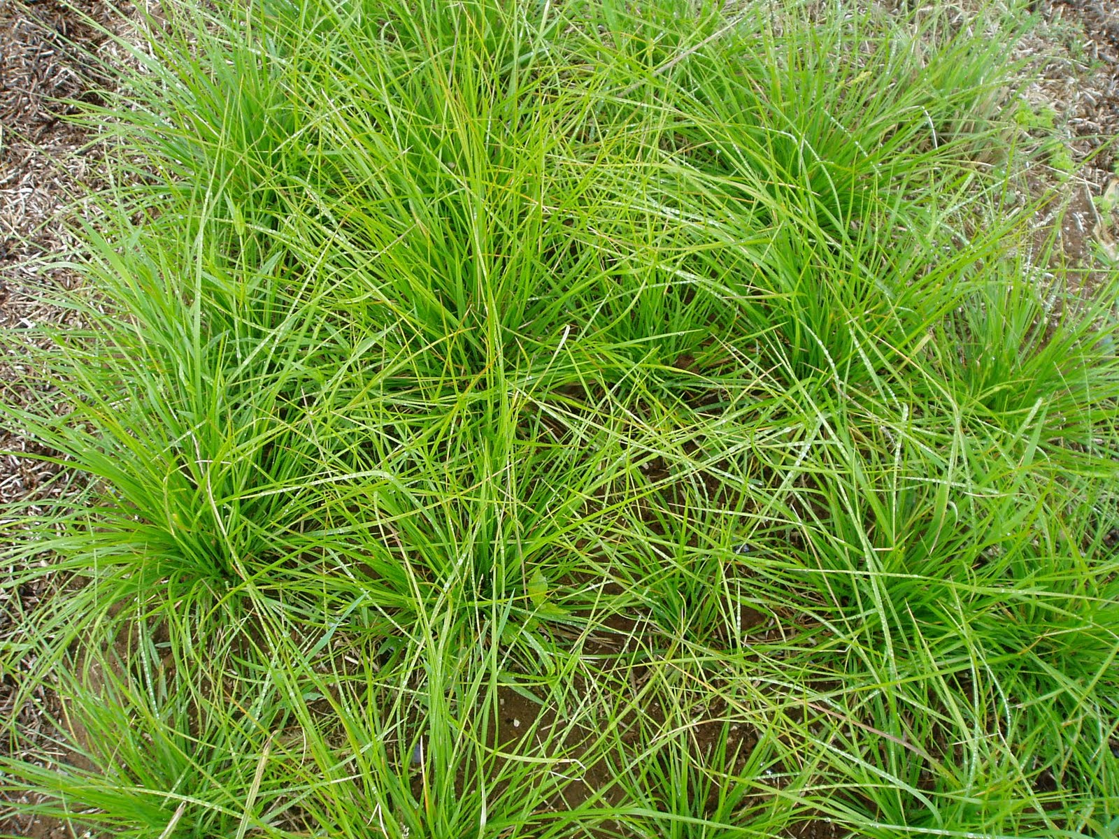 Lovegrass farm seslaria autumnalis ornamental grass at for Low growing ornamental grasses