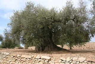 El pueblo erguido olivos milenarios de tarragona y castell n - El tiempo en la senia tarragona ...